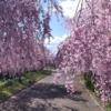 喜多方枝垂れ桜